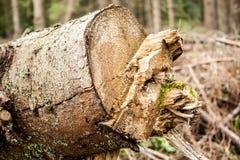Árvore abatida Imagens de Stock