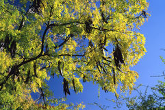 Árvore; Acácia fotografia de stock royalty free
