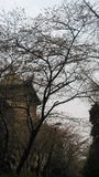 a árvore adiantada de sakura perto de uma construção velha no whu Fotos de Stock