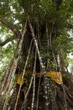 Árvore afortunada do encanto Foto de Stock