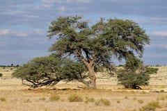 Árvore africana da acácia Fotos de Stock