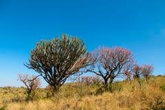 Árvore africana na flor no arbusto do savana Fotografia de Stock Royalty Free