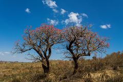 Árvore africana na flor no arbusto do savana Fotos de Stock Royalty Free
