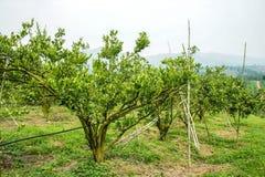 Árvore alaranjada Fotos de Stock Royalty Free