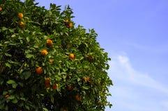 Árvore alaranjada Fotografia de Stock