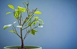 Árvore alaranjada bonita em um fundo azul Fotos de Stock