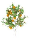 Árvore alaranjada com as laranjas isoladas no branco ilustração do vetor