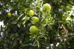 Árvore alaranjada com frutas Foto de Stock Royalty Free