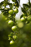 Árvore alaranjada com frutas Imagem de Stock Royalty Free