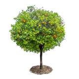 Árvore alaranjada com os frutos isolados no fundo branco Imagens de Stock Royalty Free