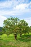 Árvore alaranjada completamente com laranja Fotos de Stock Royalty Free
