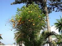 Árvore alaranjada em Agadir em Marrocos Imagem de Stock Royalty Free