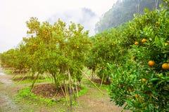 Árvore alaranjada - exploração agrícola alaranjada em seguido, Chiang Mai Imagens de Stock Royalty Free