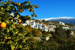 Árvore alaranjada na cidade de Granada fotografia de stock