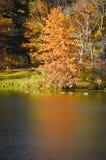 Árvore alaranjada, reflexão, gansos que nadam imagem de stock royalty free