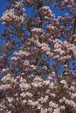 Árvore alba da magnólia de pires na flor Imagens de Stock