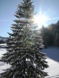 Árvore alpina na luz do sol do inverno imagens de stock royalty free