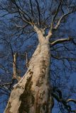 Árvore alta Imagem de Stock Royalty Free