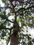 Árvore alta Fotos de Stock Royalty Free