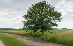 Árvore alta ao lado de um trajeto arenoso na paisagem rural foto de stock