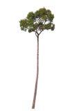 Árvore alta no fundo branco Fotografia de Stock