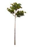 Árvore alta no fundo branco Fotografia de Stock Royalty Free