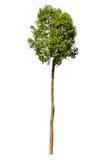 Árvore alta no fundo branco Imagem de Stock Royalty Free
