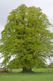 Árvore alta no parque nacional de Killarney, Irlanda Imagens de Stock