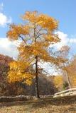 Árvore amarela imagens de stock royalty free