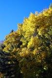 Árvore amarela Fotos de Stock Royalty Free