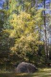 Árvore amarela colorida na floresta do outono Imagens de Stock