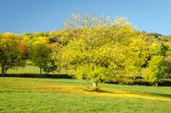 A árvore amarela da folha Fotos de Stock