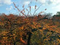 Árvore amarela da folha com céu azul e nuvem Imagem de Stock Royalty Free
