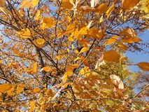 A árvore amarela do céu sae do fundo Foto de Stock Royalty Free
