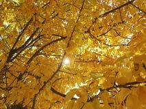 A árvore amarela do céu sae do fundo Foto de Stock