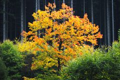 Árvore amarela do outono Imagens de Stock Royalty Free
