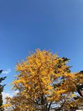 Árvore amarela do outono e o céu azul com nuvem Fotografia de Stock