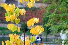 Árvore amarela em um outono Fotos de Stock Royalty Free