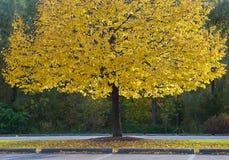 Árvore amarela em um parque Fotografia de Stock