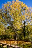 Árvore amarela grande e a ponte na queda imagens de stock