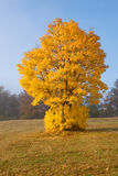 Árvore amarela incomum no montanhês Fotografia de Stock Royalty Free