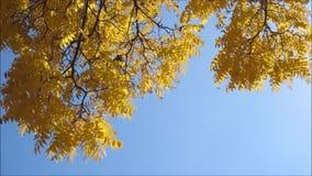A árvore amarela sae sob o céu claro vídeos de arquivo