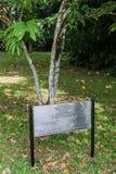 A árvore amarela Saraca Thaipingensis de Saraca plantou por Yuri Gagarin em jardins botânicos reais de Peradeniya perto de Kandy, fotografia de stock royalty free