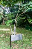 A árvore amarela Saraca Thaipingensis de Saraca plantou por Yuri Gagarin em jardins botânicos reais de Peradeniya perto de Kandy, fotos de stock royalty free