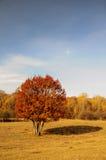 Árvore amarela vermelha na pastagem Fotografia de Stock