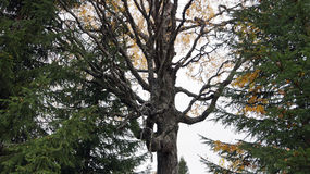 Árvore amarelando Fotografia de Stock Royalty Free