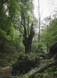 Árvore antiga velha na selva verde Imagens de Stock Royalty Free