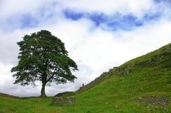 Árvore ao longo da parede dos hadrians Imagens de Stock