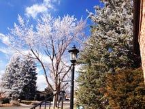 Árvore aparada gelo em março Imagem de Stock