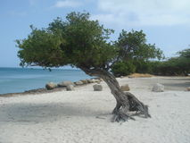 Árvore Aruba de Divi Divi Fotos de Stock